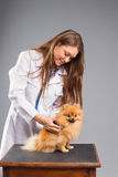 Smiling female vet with phonendoscope holding cute pomeranian do Royalty Free Stock Photo