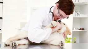 Smiling female vet playing with cute puppy stock video footage