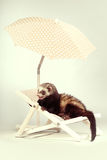Smiling ferret portrait on beach chair in studio. Ferret portrait on beach chair in studio Stock Image
