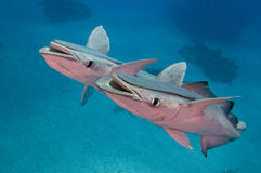 Smiling Fish. Twin smiling remora fish in sync royalty free stock image