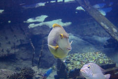 Smiling fish in aquarium Royalty Free Stock Photo