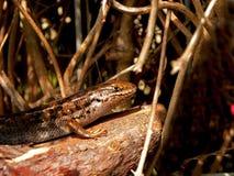 Smiling Flat Lizard Stock Photo