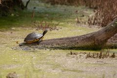 Smiling Florida red-bellied cooter sunning on a log royalty free stock image