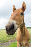 Smiling foal in the meadow Stock Photos