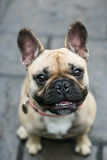 Smiling french Bulldog Stock Photography