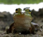 Smiling frog. Small smiling green frog close up royalty free stock images