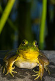 Smiling Frog Stock Photo