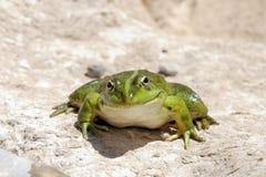 Smiling frog - Edible Frog - Pelophylax kl. escule Royalty Free Stock Images
