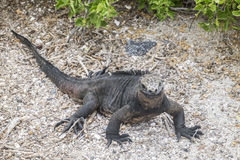 Smiling Galapagos iguana. An iguana looks like it is smiling in Galapagos Islands stock photo