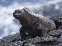 Smiling Galapagos Iguana stock images
