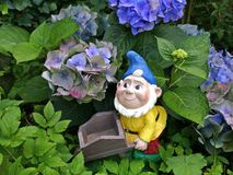 Smiling garden dwarf with a blue hat, yellow jacket and a wheelbarrow between blue hydrangeas Royalty Free Stock Photography