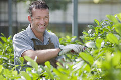 Smiling gardener. In a greenhouse Royalty Free Stock Images