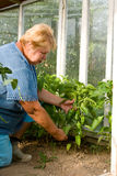 Smiling gardener in his greenhouse. Woman is working hard in a greenhouse. Smiling gardener showing his fresh peppers Royalty Free Stock Photography