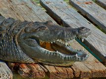 Smiling Gator. Alligator sunning himself on a wooden dock. Eyes closed and mouth open. Appears to be smiling or laughing Royalty Free Stock Images