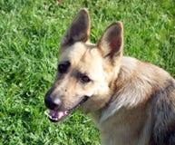 A smiling german shepherd Stock Photo