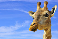 Smiling Giraffe. A Giraffe, that appears to be smiling, shot against a deep blue sky Stock Photos
