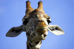 Smiling giraffe. Horizontal royalty free stock image