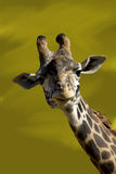 Smiling Giraffe. This giraffe looked ready to have his picture taken, he seemed to enjoy the attention Stock Image