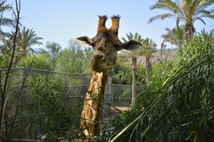 Smiling giraffe Royalty Free Stock Photography