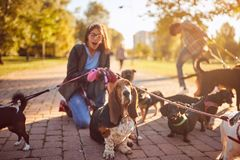 Girl walking a group of dogs and enjoying outdoors royalty free stock photography