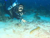 Diver pointing tiger sea cucumber royalty free stock image