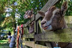 Goat at an agricultural show, New Zealand stock images