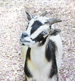 Smiling goat with blue eyes. Baby goat at the patting zoo Royalty Free Stock Photos