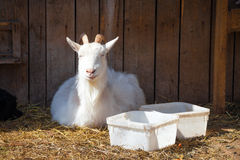 Smiling goat Royalty Free Stock Photo