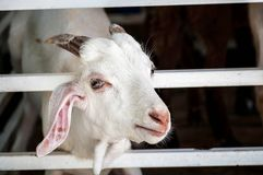 Smiling Goat. I want to know, what is it thinking Stock Image