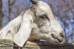 Smiling Goat Stock Image