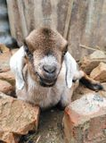 Smiling goat Royalty Free Stock Images