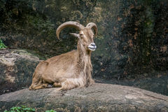 Smiling goat Royalty Free Stock Photos
