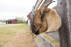 This Smiling Goat Appears Happy With His Rural Home. This smiling goat stuck his head through the fence in this rural scene as if to getter a better portrait Royalty Free Stock Photo