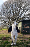 Smiling goat in West Perthshire hills, Scotland Stock Photo