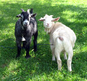 Smiling Goats Royalty Free Stock Photos