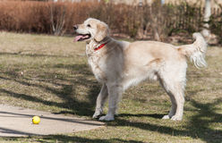Smiling golden retriever dog with ball Royalty Free Stock Image