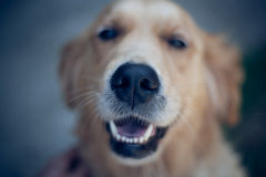 Smiling Golden Retriever Dog Eyes Close Up Focus Portrait White Teeth. Smile Stock Images