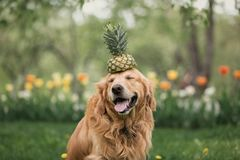 Smiling golden Retriever in flowers holds pineapple on the head royalty free stock photo
