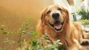 Smiling Golden retriver Royalty Free Stock Photography