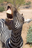Smiling Grant's Zebra. A grant's zebra showing its teeth a it smiles at the camera Stock Photo