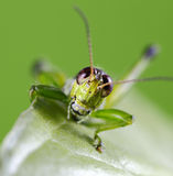 Smiling Grasshopper Stock Photography