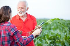 Smiling gray haired senior agronomist talking to his young female colleague in a corn field stock images