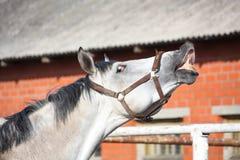 Smiling gray horse Stock Photos