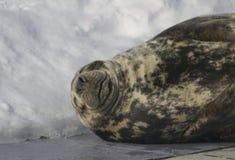 Smiling grey seal, Quebec - Canada. A grey seal lies on the concrete in an enclosure at Aquarium de Quebec and `smiles` for the camera Royalty Free Stock Photos