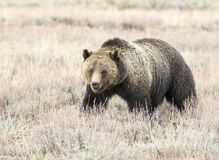 Smiling grizzly bear feeding on tubers and seeds in sagebrush Royalty Free Stock Images