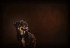 Smiling happily black dog on classic and vintage colour background Stock Photography