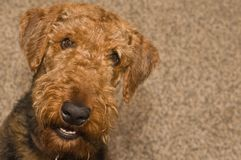 Smiling happy airedale terrier dog royalty free stock photo