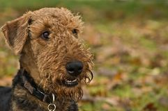 Smiling happy dog. A happy smiling airedale terrier with a leafy autumn background stock photo