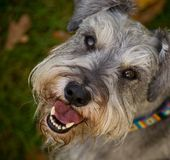 Smiling happy dog close up. Smiling happy miniature schnauzer dog close up portrait outdoors shallow depth of field royalty free stock images