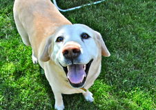 Smiling, happy lab. Yellow lab, standing on lawn, looking up at camera, appears to be smiling, and happy Royalty Free Stock Photography